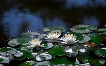 1 Lotus. Pixabay